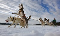 sled dogs are used in races like the Iditarod